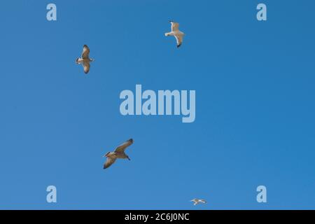 Four Gulls Soaring in a Blue Sky - Stock Photo