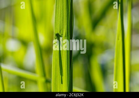 Blade of grass with the shadow of a dragonfly - Stock Photo