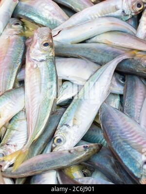 Close up of a bunch of freshly captured horse mackerel. Fishing and healthy food concept.