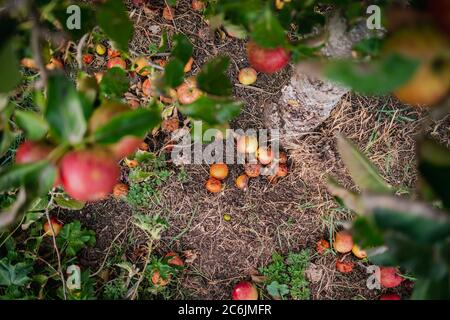Abundance of cider apples seen fallen from an Apple Tree in a cider orchard. Some of the fruit can be seen rotting on the ground next to the AppleTree - Stock Photo