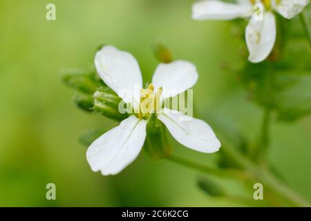 Raphanus sativus 'French Breakfast'.  Flower heads of bolted radish plants in summer. UK Stock Photo