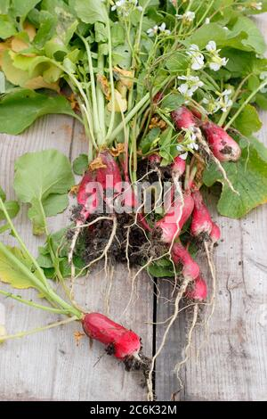 Raphanus sativus 'French Breakfast'. Flower heads and large, woody roots of bolted radish plants for composting. UK Stock Photo