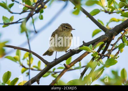 Close-up of a Willow warbler bird, Phylloscopus trochilus, singing on a beautiful summer evening with soft backlight on a green vibrant background. - Stock Photo