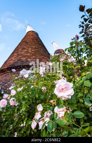 Pink Rose bush in front of a traditional Oast house in the East Kent village of Ickham. - Stock Photo