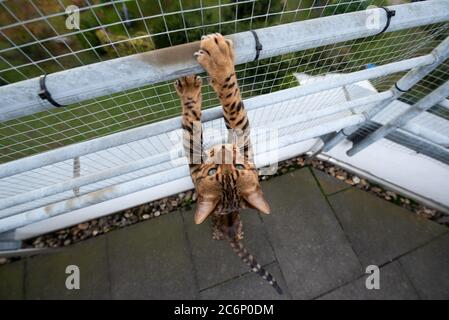 brown spotted tabby bengal cat outdoors on balcony with safety net climbing up railing