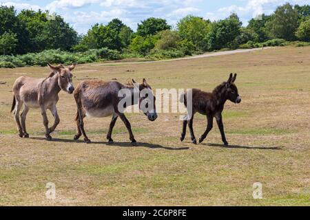 New Forest, Hampshire, UK. 11th July 2020. UK weather: Donkeys enjoy the sunshine in New Forest National Park.  Credit: Carolyn Jenkins/Alamy Live News - Stock Photo