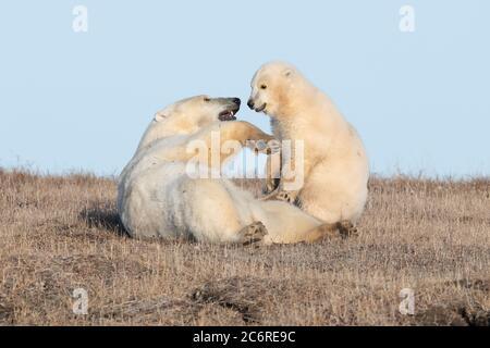 Polar bear mother & cub (Ursus maritimus) in Kaktovik, Alaska