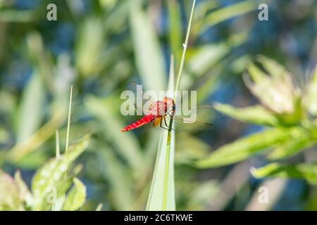 Red scarlet dragonfly Crocothemis erythraea wings - Stock Photo
