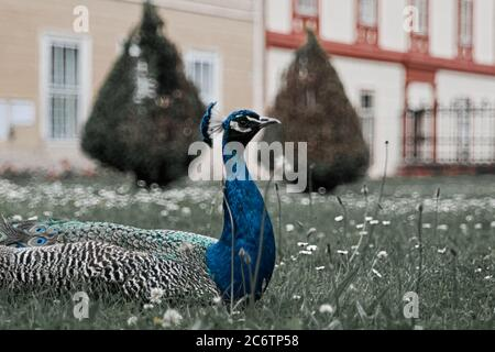 Indian peafowl, Blue peafowl, beautiful spectacular fan, portrait of beautiful peacock. - Stock Photo