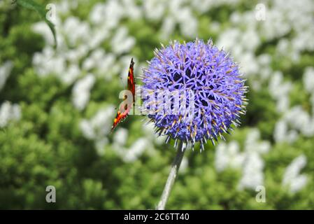 Small tortoiseshell butterfly (Aglais urticae) sitting on a Taplow Blue or globe thistle (Echinops bannaticus).