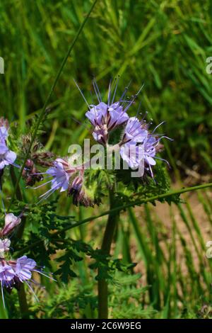 A violet tansy growing in the meadow in the middle of high weeds, common names are lacy phacelia, blue tansy or purple tansy, scientific name Phacelia