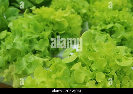 Vibrant Green Oak Leaf Lettuces Growing in Hydroponic Containers at House's Backyard - Stock Photo