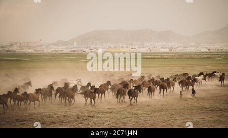 Kayseri, Turkey - November 2019: Horses running and kicking up dust. Yilki horses in Kayseri Turkey are wild horses with no owners - Stock Photo