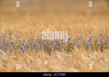 02 July 2020, Brandenburg, Schönefeld: A narrow strip of blue cornflowers grows in a cornfield. Photo: Soeren Stache/dpa-Zentralbild/ZB - Stock Photo