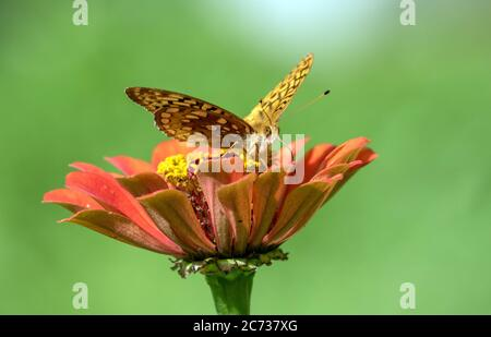 Closeup of Great Spangled Fritillary butterfly (Speyeria cybele) feeding on and pollinating an orange Zinnia flower in  summer in Quebec,Canada. - Stock Photo