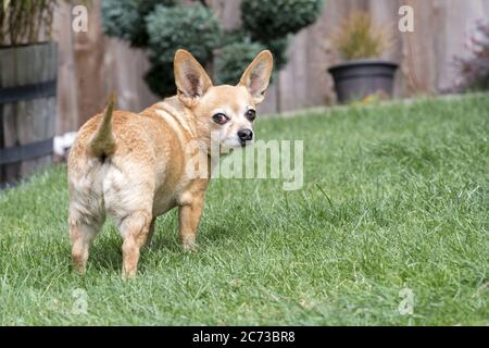 Chiweenie Dog Breed Standing in Yard - female with cherry eye medical condition