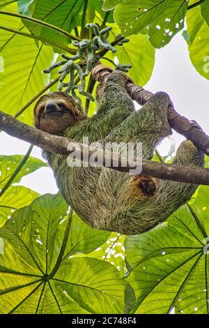 Pale-throated Sloth, Bradypus tridactylus, Three-toed Sloth, Tropical Rainforest, Marino Ballena National Park, Uvita de Osa, Puntarenas, Costa Rica