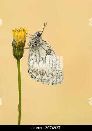 A dew-soaked male Marbled White butterfly (Melanargia galathea) roosting. - Stock Photo