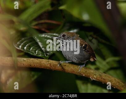 star-throated antwren (Myrmotherula gularis), perched in understory of an Atlantic forest, Brazil, Atlantic forest