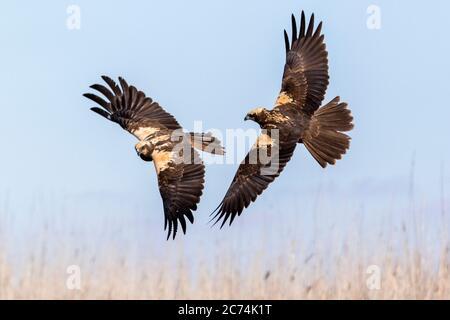 Western Marsh Harrier (Circus aeruginosus), two Western Marsh Harriers fighting in midair, Spain - Stock Photo