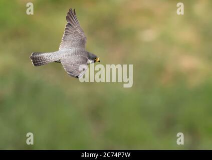 An adult Peregrine Falcon (Falco peregrinus) in flight over the Avon Gorge, Bristol
