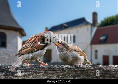 Common sparrow / house sparrow (Passer domesticus) male feeding juvenile on garden fence in summer