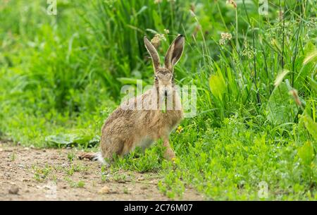 Hare (Scientific or Latin name: Lepus Europaeus).Wild, native European hare chomping on green shoots in a lush green field with raindrops on the grass - Stock Photo