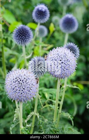 Globular blue flowers of Echinops bannaticus 'Taplow Blue' globe thistle 'Taplow Blue