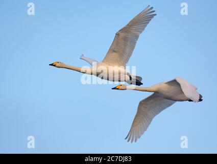 Pair of adult Whooper swans (cygnus cygnus) fly over blue sky together - Stock Photo