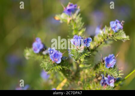 Echium vulgare,  viper's bugloss and blueweed blue flowers in meadow  closeup selective focus - Stock Photo