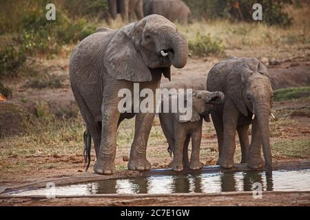 Elephants drinking at a water hole 10659