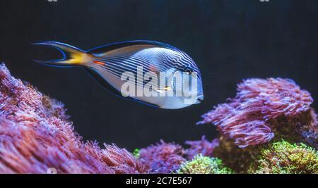 Underwater Scene. Tropical Fish Swimming.