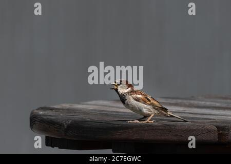 A male sparrow singing while standing on a table outdoors