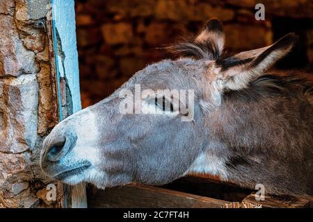A gray donkey looks out the window of his stable, waiting for the forage - Stock Photo