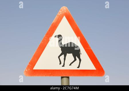 Street sign in Saudi Arabia: Attention camels cross the street - Stock Photo