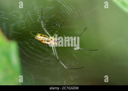 Yellow and orange Golden orb-web spider (Nephila spp.) sitting on a web, Nosy Komba, Madagascar - Stock Photo