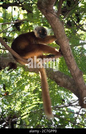Female Black lemur (Eulemur macaco) sitting in a tree, Nosy Komba, Madagascar