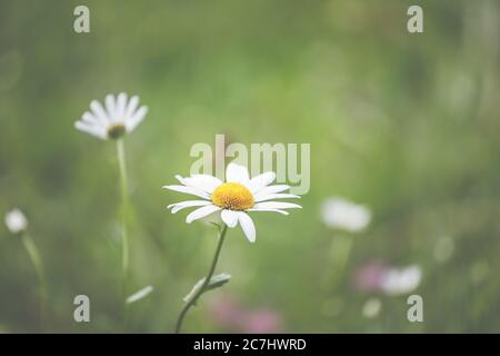Spring - The garden blooms in the sunlight. Daisies and daisies in the meadow.