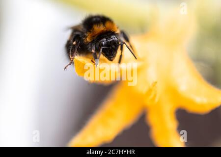 The bumblebee sits on a cucumber flower. Close-up. High quality photo