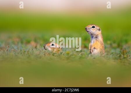 Cute animal. European Ground Squirrel. Green nature background.  European Sousl Spermophilus citellus. - Stock Photo