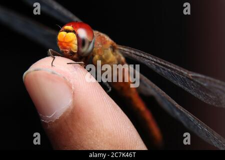 scarlet dragonfly (Crocothemis Erythraea) sitting on finger - Stock Photo