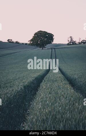 a lone tree in a green field of wheat at sunrise - Stock Photo