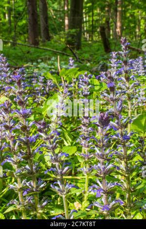 Klausen-Leopoldsdorf, blooming Kriechender Günsel (Ajuga reptans, commonly known as bugle, blue bugle, bugleherb, bugleweed, carpetweed, carpet bugleweed), Wienerwald / Vienna Woods, Niederösterreich / Lower Austria, Austria - Stock Photo