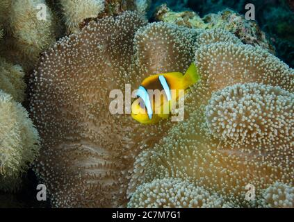 TwoBar Clownfish, Amphiprion bicinctus, in anemone, Red Sea, Egypt