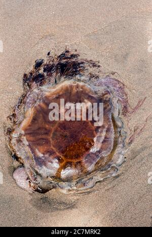 Lion's Mane Jellyfish, Cyanea capillata, lying on sand, washed up on Montrose Beach, Angus, Scotland, UK in July - Stock Photo