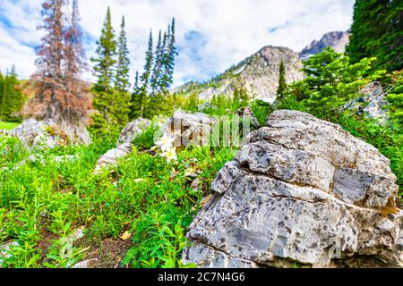 Albion Basin in Alta, Utah summer with landscape view of rocky Wasatch mountains on Cecret Lake trail hike with rock in foreground and white columbine - Stock Photo