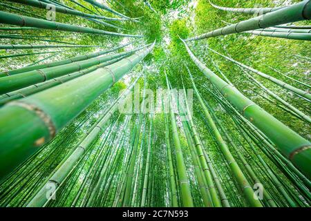 Kyoto, Japan canopy wide angle view looking up of Arashiyama bamboo forest park pattern of many plants on spring day with green foliage color in Daika