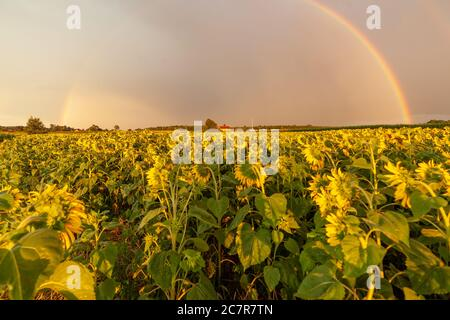 Beautiful agricultural landscape with sunflowers field and beautiful rainbow in sky, farmland natural view - Stock Photo