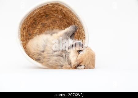 Adorable pomeranian spitz dog puppy laying in a rush basket with natural light. High quality photo - Stock Photo