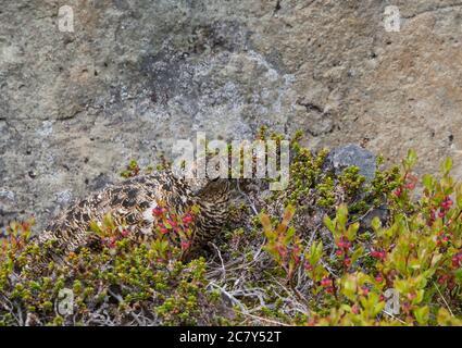 female rock ptarmigan (Lagopus muta) hiding between cranberry bush and stones in iceland nature reserve Hornstrandir in summer day